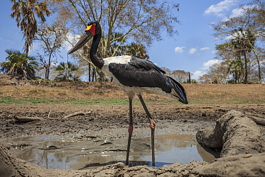 Saddle-billed stork (Ephippiorhynchus senegalensis)  in the last remaining puddle of water in the Mussicadzi River during the dry season,with  giant Sharpooth catfish (Clarias gariepinus) caught in th...