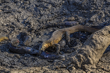 Nile monitor lizards (Varanus niloticus) hunting giant Sharpooth catfish (Clarias gariepinus) in dried up puddle of the Mussicadzi River, Gorongosa National Park, Mozambique.