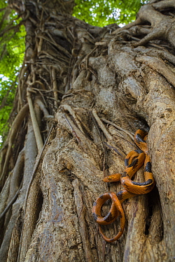 Eastern tiger snake (Telescopus semiannulatus) on a strangler fig (Ficus sp.) in Gorongosa National Park, Mozambique.
