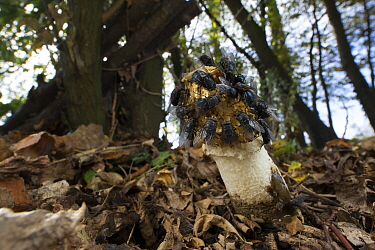 Stinkhorn fungus (Phallus impudicus) covered in flies feeding, Picardy, France, October.