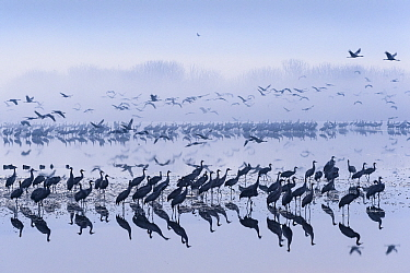 Flock of common cranes (Grus grus) taking off from roost lake at dawn. Hula Valley, Israel. January.