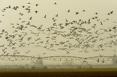 Flock of common cranes (Grus grus) in flight over irrigated arable fields. Hula Valley, Israel. January.