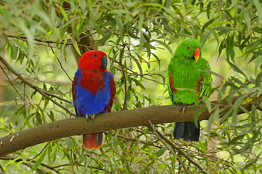 Eclectus parrot (Eclectus roratus) female on left and male on right, captive.