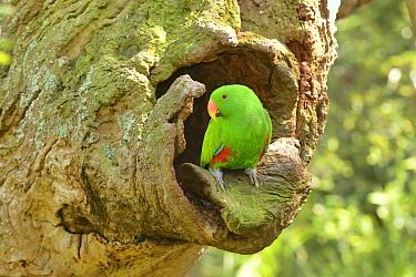 Eclectus parrot (Eclectus roratus) male at nest hole, captive