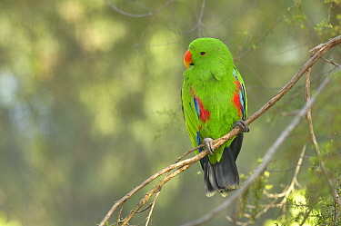 Eclectus parrot (Eclectus roratus) male, captive