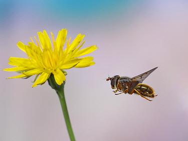 Hoverfly (Ferdinandea cuprea) approaching Cats ear (Hypochaeris radicata) flower. Surrey, England,