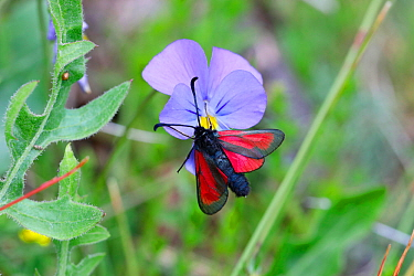 Transparent burnet moth (Zygaena purpuralis) on wild pansy. Apennines, Italy, May.