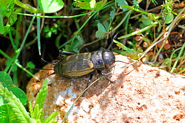 Field Cricket (Gryllus campestris) female. Apennines, Italy, May.