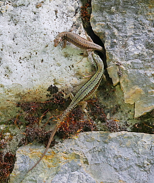 Common wall lizard (Podarcis muralis) pair sharing a rock crevice. Apennines, Italy, May.