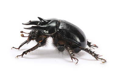 Minotaur beetle (Typhaeus typhoeus) male. Surrey, England, UK. October. Controlled conditions