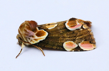 Peach blossom moth (Thyatira batis). on white background, Surrey, England, UK, June. Controlled conditions