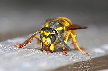 German wasp (Vespula germanica) queen scraping wood pulp with her jaws. Surrey, England, UK, April.