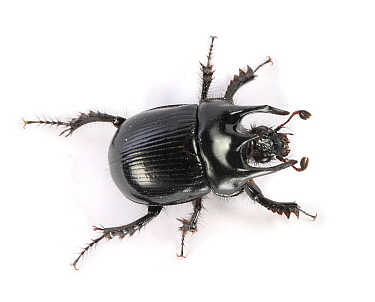 Minotaur Beetle (Typhaeus typhoeus) male. Surrey, England, Controlled conditions