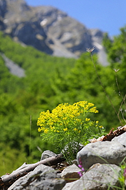 Cypress spurge (Euphorbia cyperissias), Apennines, Italy. Apennines, Italy, May.