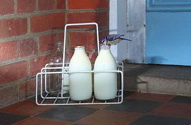 Blue tit (Parus caeruleus) drinking cream from milk bottle. Surrey, England, UK, August. Digital composite
