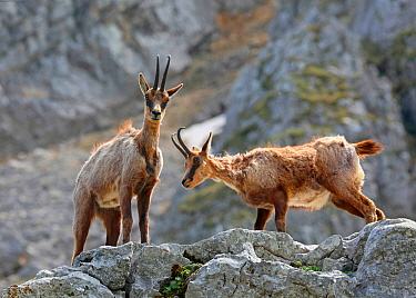 Abruzzo chamois (Rupicapra rupicapra) in spring moult on a rocky ledge. Apennines, Italy, May.