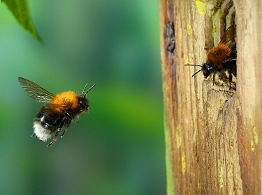 Tree bumblebee (Bombus hypnorum) worker approaching nest in bird box. Surrey, England, UK, May.