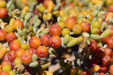 Sea grape / Uvas de mar (Zygophyllum / Tetraena fontanesii) fruits and leaves, La Pared, Fuerteventura, May.