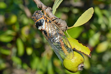 European / Common cicada (Lyristes plebejus) male calling from a Pomegranate tree, near Nafplio, Peloponnese, Greece, July.