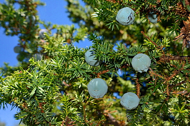 Prickly juniper (Juniperus oxycedrus oxycedrus), with ripening seed cones in pastureland in limestone mountains, near Kosmas, Arcadia, Peloponnese, Greece, August.