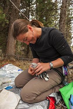 Woman ringing Clark's nutcracker (Nucifraga columbiana) Wyoming, USA. April