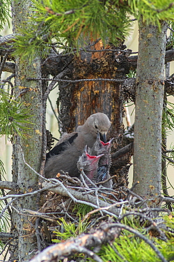 Clark's nutcracker (Nucifraga columbiana) feeding nestlings, Wyoming, USA. April.