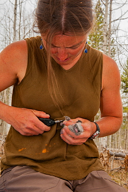 Woman ringing Clark's nutcracker (Nucifraga columbiana) Wyoming, USA. April 2012.
