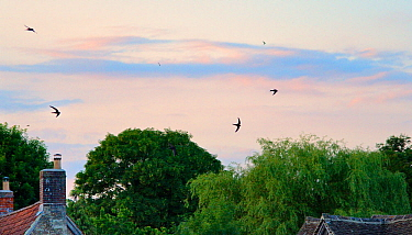 Common swift (Apus apus) screaming as they fly in formation over cottage roofs at dusk, Lacock, Wiltshire, UK, June 2018.