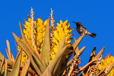 Dusky sunbird (Cinnyris fuscus) feeding on the nectar of quiver tree (Aloidendron dichotomum) flowers, Aus, Namibia
