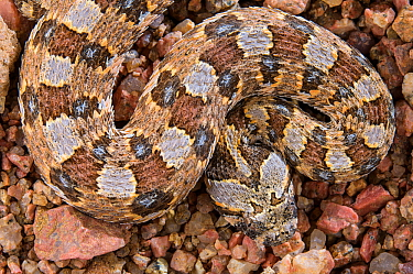 Horned adder (Bitis caudalis) portrait of a male, Brandberg, Namibia