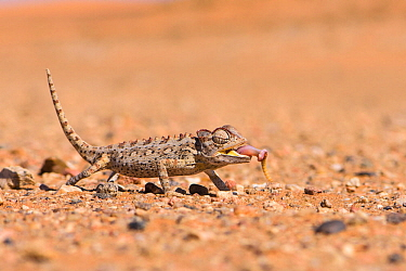 Namaqua chameleon (Chamaeleo namaquensis) eating a mealworm offered by a local guide, Swakopmund, Namibia