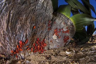 Welwitschia bugs (Probergrothius angolensis) feeding on the plant's sap, Welwitschia (Welwitschia mirabilis) Swakopmund, Namibia