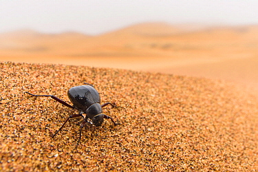 Desert darkling beetle (Onymacris sp.) drinking water by collecting water droplets contained into the early morning fog in  tiny ridges of its hardened wings (elytra), Swakopmund, Dorob National Park,...