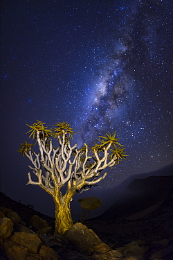 Quiver tree (Aloidendron dichotomum) at night with milky way visible in the sky,  Namib-Naukluft National Park, Namibia