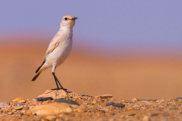 Tractrac chat (Emarginata tractrac), a bird endemic to Namib desert and evolved to thrive into the oldest desert on Earth. Swakopmund, Namibia