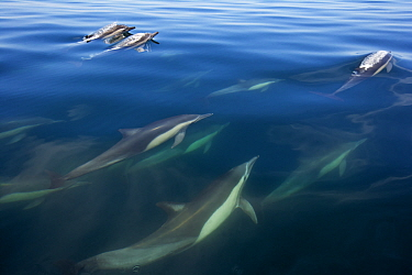 Long-beaked common dolphin (Delphinus capensis), Bahia de los Angeles Biosphere Reserve, Gulf of California (Sea of Cortez), Mexico, July