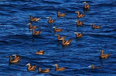 Brown booby (Sula leucogaster), San Pedro Martir Island Protected Area, Gulf of California (Sea of Cortez), Mexico, July