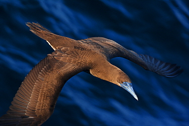Brown booby (Sula leucogaster) flying over San Pedro Martir Island Protected Area, Gulf of California (Sea of Cortez), Mexico, July