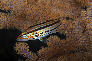 Goldspotted sand bass (Paralabrax auroguttatus), Angel de la Guarda Island Protected Area, Gulf of California (Sea of Cortez), Mexico, July