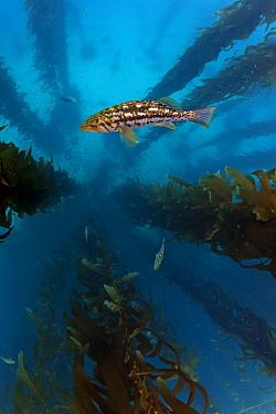 Kelp bass / Rock sea bass (Paralabrax clathratus) and Giant kelp (Macrocystis pyrifera) forest, San Benitos Islands, Baja California Pacific Islands Biosphere Reserve, Baja California, Mexico, May