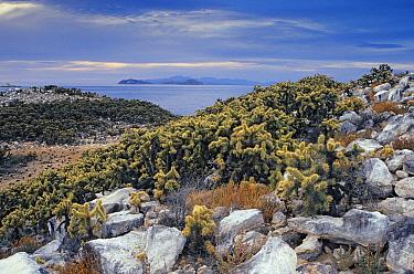 Jumping cholla (Cylindropuntia fulgida fulgida), Rasa Island Special Biosphere Reserve, Sea of Cortez (Gulf of California), Mexico, April