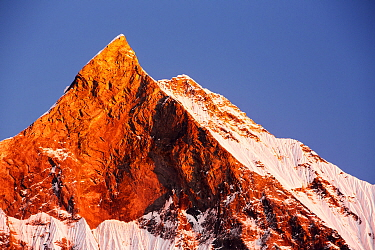 Alpenglow at sunset on Machapuchare, Annapurna Sanctuary, Nepelese Himalayas. December 2012.