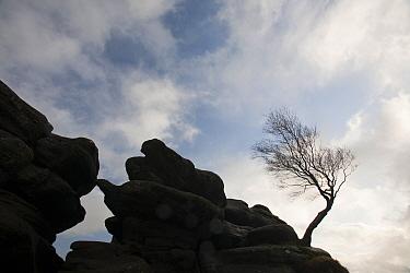Windswept tree at Brimham Rocks, Nidderdale, Yorkshire, England, UK, October 2009.