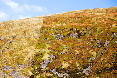 Example of how sheep grazing affects moorland vegetation. This shot is taken above Megget Reservoir near Broad Law in the Southern Uplands of Scotland. On the right of the fence is a nature reserve wh...