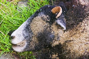 Maggots on a dead sheep