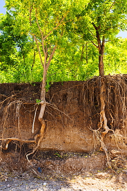 Trees with surrounding soil washed away to expose roots during the January 2015 flooding, near Chikwawa, Malawi. March 2015.