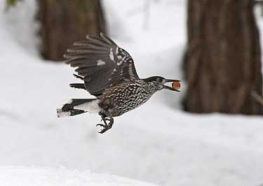 Spotted nutcracker (Nucifraga caryocatactes) flying carrying nut, Pennine Alps, Wallis, Switzerland. Small repro only.