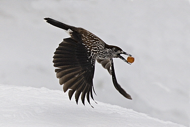 Spotted nutcracker (Nucifraga caryocatactes) flying carrying nut. Pennine Alps, Wallis, Switzerland. Small repro only.