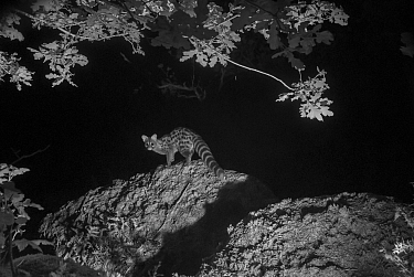 Genet (Genetta genetta) at night, infra-red image. France. June.