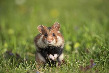 European hamster (Cricetus cricetus), adult with full cheek pouches. Vienna, Austria